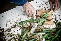 Calçots. Preparation of onions typical of Catalonia, Spain Stock Photos