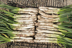 Calçots or grilled sweet onions in calçotada, in Valls, Tarragona, Catalonia, Spain.a Stock Image