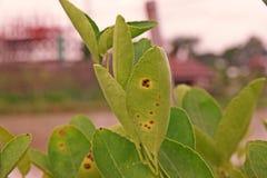 cal, causas de la enfermedad de la úlcera del limón por las bacterias fotografía de archivo libre de regalías