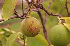 Cal, causas por las bacterias, úlcera de la enfermedad de la úlcera del limón de la fruta fotografía de archivo libre de regalías