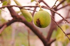 Cal, causas por las bacterias, úlcera de la enfermedad de la úlcera del limón de la fruta foto de archivo
