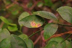 Cal, causas por las bacterias, úlcera de la enfermedad de la úlcera del limón de la fruta imagen de archivo libre de regalías