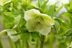 Cal de la primavera de la flor Orientalis del Helleborus Imagen de archivo