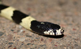 Cal King. Common California kingsnake close up stock photography