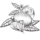 Cal ou limão tirado mão do vetor Partes inteiras, cortadas meias, esboço da licença Ilustração gravada fruto do estilo detalhado Imagem de Stock Royalty Free