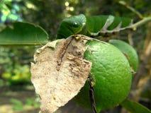 Cal y Papilio Demoleus Caterpillar Fotos de archivo