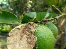 Cal y Papilio Demoleus Caterpillar 2 Imágenes de archivo libres de regalías