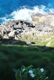Cala,马蹄莲aethiopica,在峭壁 库存图片