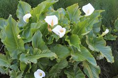 Cala,马蹄莲aethiopica 库存图片