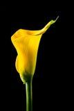 Cala amarilla Foto de archivo libre de regalías