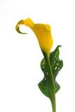 Cala amarilla Fotografía de archivo libre de regalías