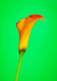 Cala anaranjada Lily Flower Fotos de archivo