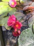 cala Blanco-rosada en un fondo de los lirios de agua leavesRaspberry verde oscuro en las hojas verdes grandes oscuras que flotan  fotografía de archivo