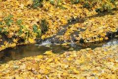 Cala del otoño en hojas de arce amarillas imagen de archivo libre de regalías