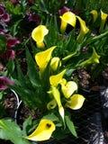 Cala lilies Stock Image