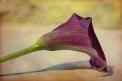 Cala lilja Fotografering för Bildbyråer
