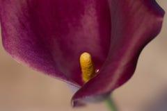 Cala lilja Arkivbild