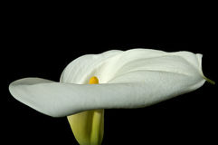 Cala lily. Against a black background stock image