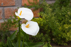 Cala Lily Against Brick Fotos de archivo libres de regalías