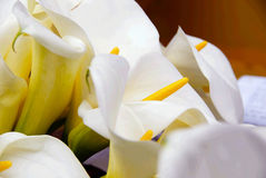 Cala lily bunch Royalty Free Stock Image