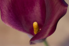 Cala lily Stock Photography