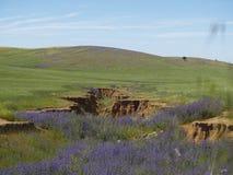 Cala púrpura Imagenes de archivo