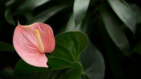 Cala venenosa delicada salvaje con el estambre amarillo que florece en el jardín como fondo floral natural metrajes