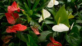 Cala venenosa delicada salvaje con el estambre amarillo que florece en el jardín como fondo floral natural almacen de video