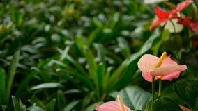Cala venenosa delicada salvaje con el estambre amarillo que florece en el jardín como fondo floral natural almacen de metraje de vídeo