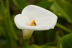 Cala y abeja blancas Imagen de archivo libre de regalías