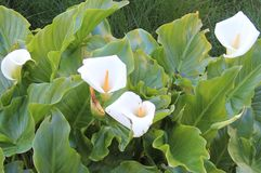 Cala, Zantedeschia aethiopica. Zantedeschia aethiopica, known as calla lily and arum lily, is a species in the family Araceae, native to southern Africa in Royalty Free Stock Photography