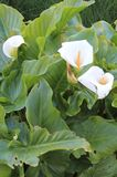 Cala, Zantedeschia aethiopica. Zantedeschia aethiopica, known as calla lily and arum lily, is a species in the family Araceae, native to southern Africa in Royalty Free Stock Photo