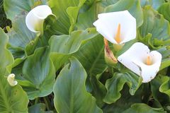 Cala, Zantedeschia aethiopica. Zantedeschia aethiopica, known as calla lily and arum lily, is a species in the family Araceae, native to southern Africa in Stock Photos