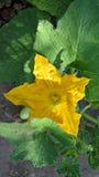 Calabacín agrícola del pepino de las plantas Fotos de archivo libres de regalías
