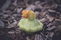 Calabacín maduro del verano en Kamenskoe Ucrania Foto de archivo libre de regalías
