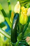 Calabacín orgánico Foto de archivo