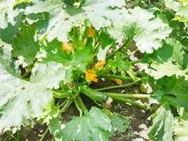 Calabacín regular debajo de las hojas en jardín Imágenes de archivo libres de regalías