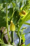 Calabacines del bebé con las flores jovenes Imagen de archivo