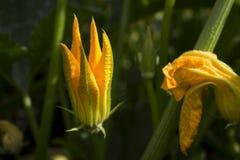 Calabacines verdes de florecimiento en el jardín, flores amarillas del calabacín de verduras fotos de archivo libres de regalías