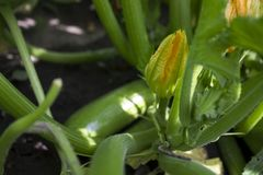 Calabacines verdes de florecimiento en el jardín, flores amarillas del calabacín de verduras fotos de archivo