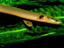 Calabaricus de Erpetoichthys Imagen de archivo