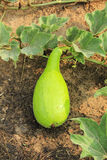 Calabash or bottle gourd Stock Photography
