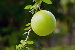 Calabash Fruit Stock Images