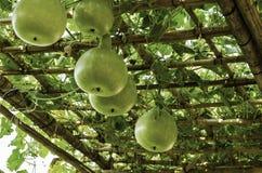 Calabash plant Stock Image