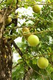 Calabash tree. Royalty Free Stock Photography