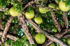 Calabash Tree Stock Photos