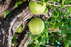 Calabash Tree Royalty Free Stock Photo