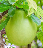 Calabash Tree and Fruit. Crescentia cujete, is generally used to make a cup for serving or drinking Stock Photography