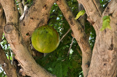 Calabash tree and his fruit Royalty Free Stock Photo