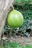 Calabash tree Royalty Free Stock Photos